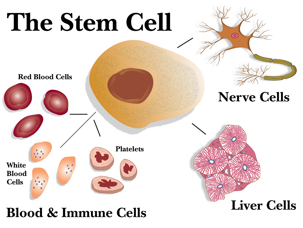 Researchers Use Human Stem Cells to Repair Damaged Body Parts