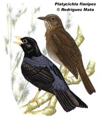 aves escasas de Argentina Zorzal azulado Platycichla flavipes