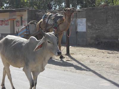kamel och ko