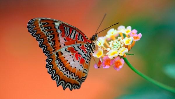 Butterfly on Flower 1920x1080 Image HD