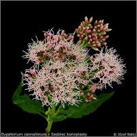 Eupatorium cannabinum inflore scence - Sadziec konopiasty kwiatostan