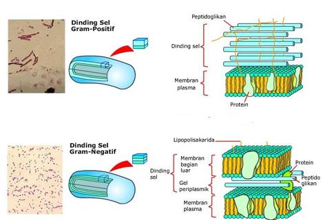 dinding sel bakteri