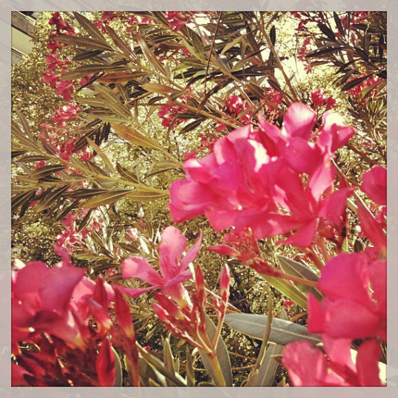 Flowers,Santiago, Chile, iPhoneography Selection January 7 2013,pablolarah,Pablo Lara H Blog