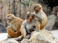 monkeys marijuana