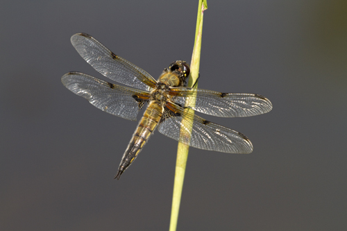 Four-spotted Chaser, Fosse Meadows, Leicestershire