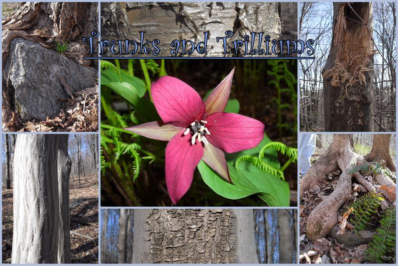 Trunks and Trilliums
