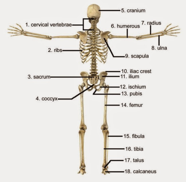 Human Skeleton Labeled | Search Results | Calendar 2015