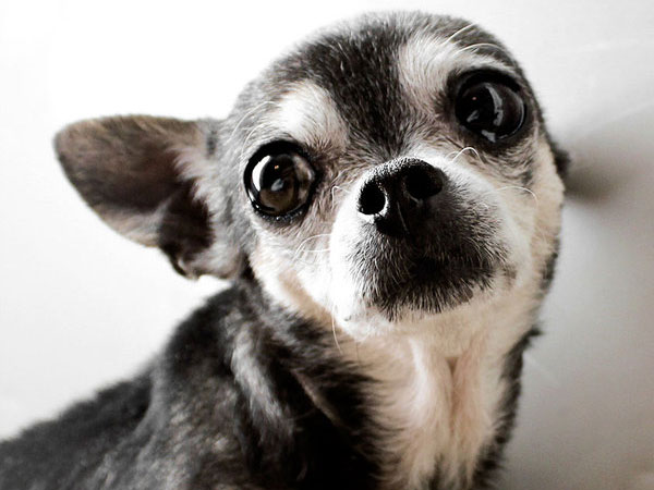 Crazy Pictures Cute Chihuahuas Pics