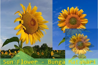 sun flower bunga matahari