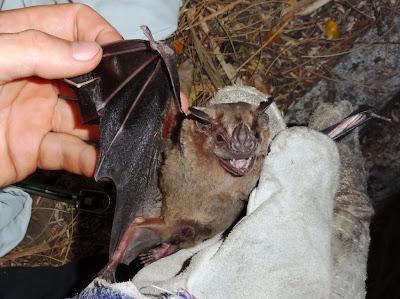bats Nicaragua