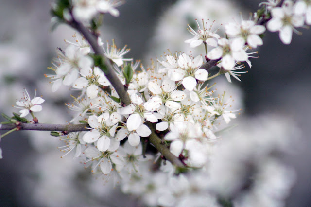 blackthorn flower wallpaper