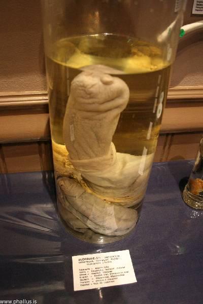 human penis museum