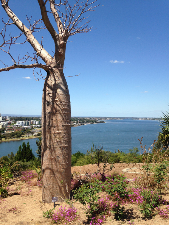 Baob tree with view of Perth