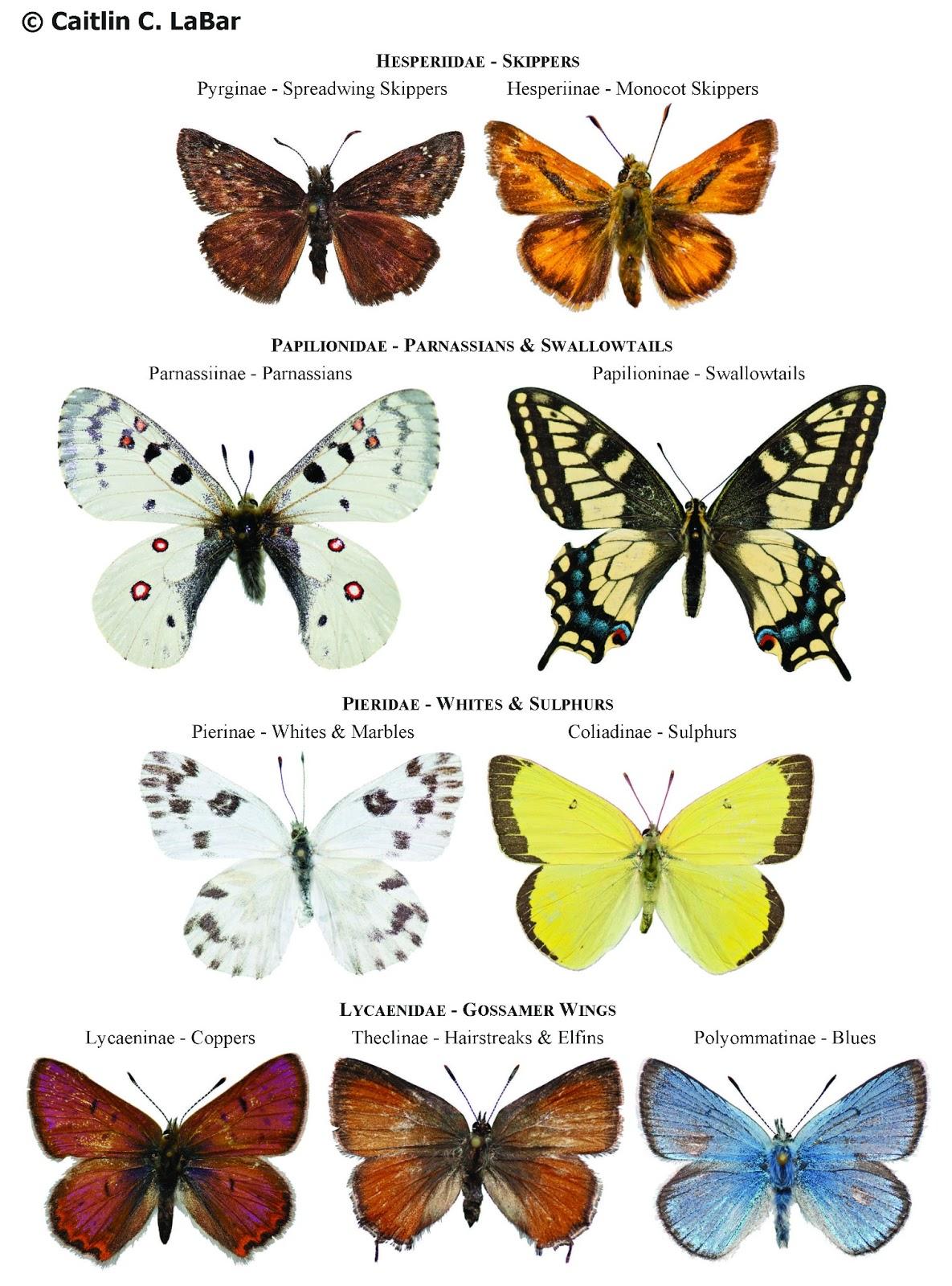 Виды бабочек фото и названия для ребенка
