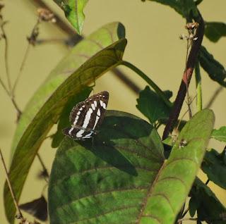 Burmese Sailor (Neptis leucoporos cresina)