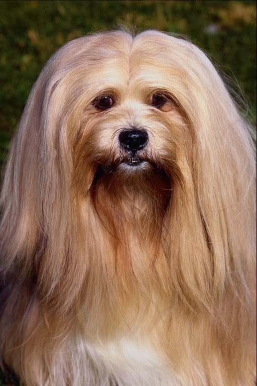 Lhasa Apso Puppy Free Wallpaper In Free Pet Category Dog | Short News ...