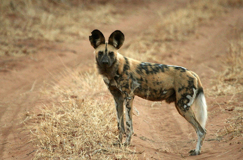 African Wild Dog The Life of Animals
