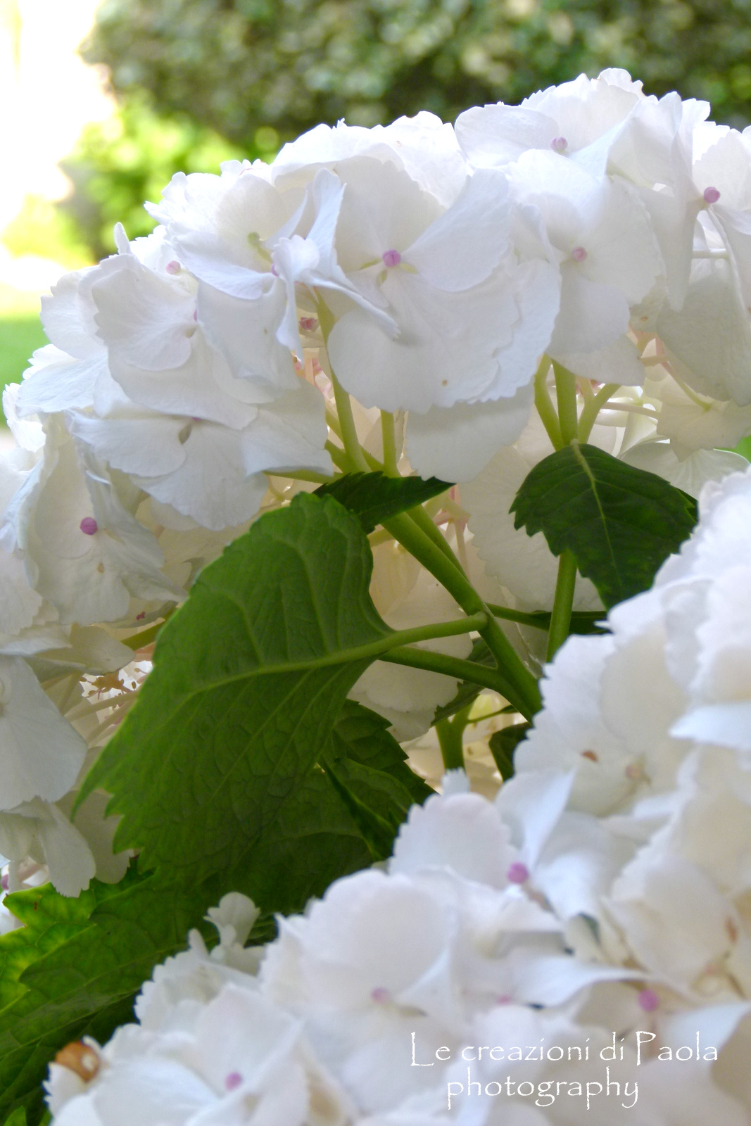 Le creazioni di paola ortensie bianche for Ortensie bianche