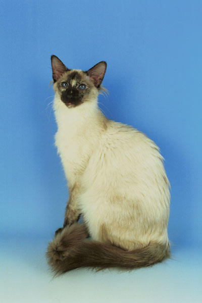 balinese cat breed balinese cat breed