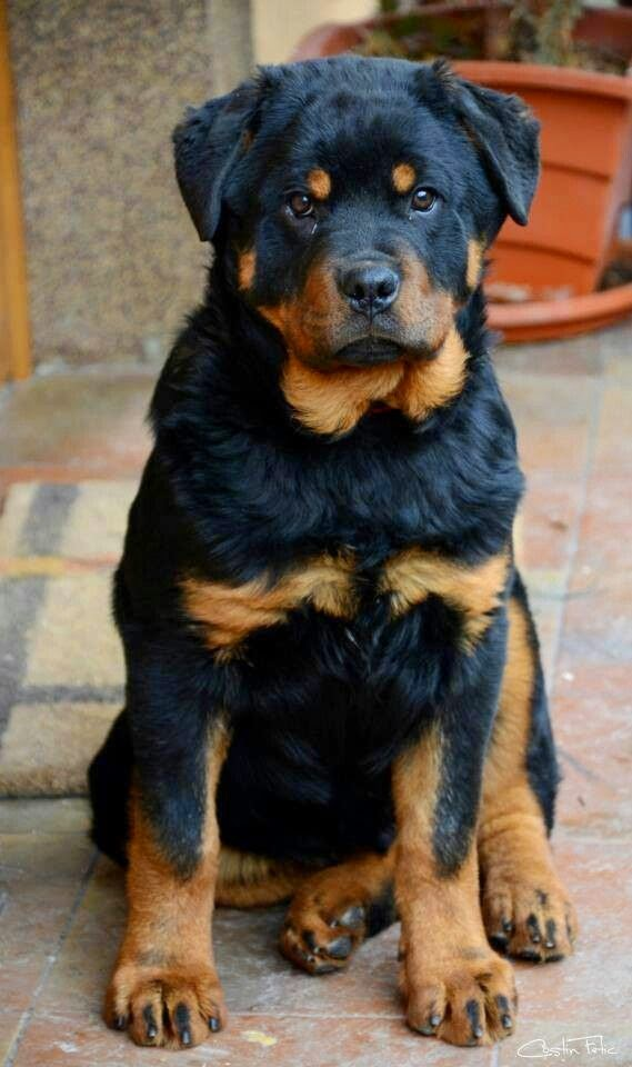 Most Obedient Dog Breeds Uk