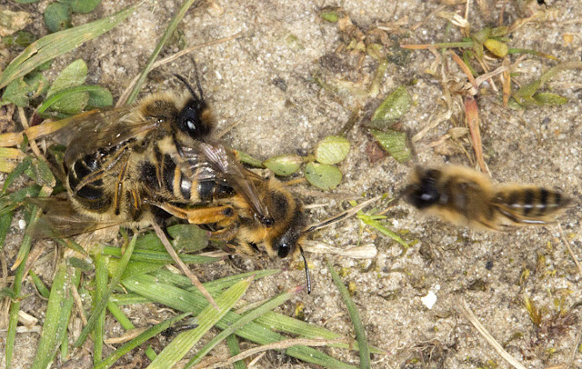 Yellow-legged Mining Bee, Andrena flavipes.  Three males and a female in a rather busy mating attempt.