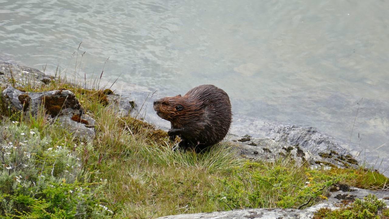 Tierra del Fuego Nationalpark - Biber