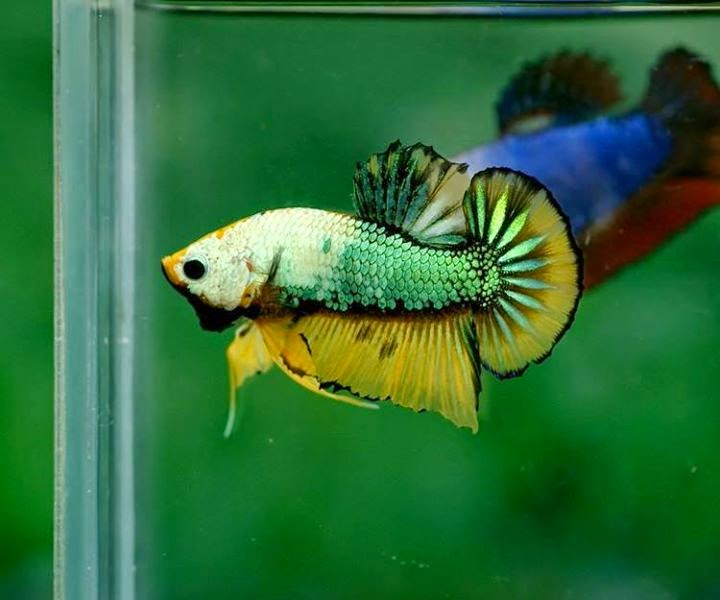 Fancy plakat betta fish