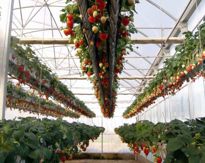 cultivo hidroponico de fresas en invernadero