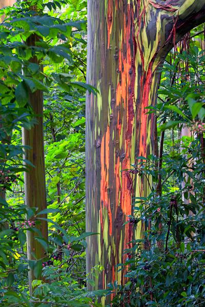 Un árbol con un tronco de lo mas peculiar ♥♥♥ Una pasada - Página 2 Eucalyptusdeglupta1