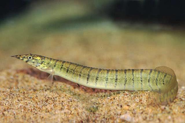 Tire track eel