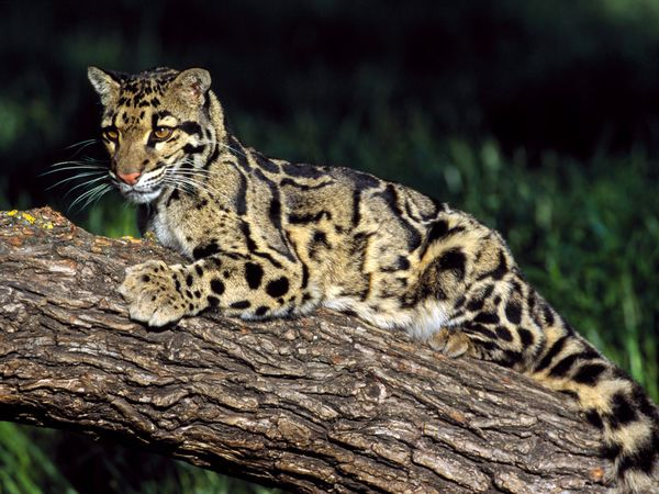 Clouded Leopard