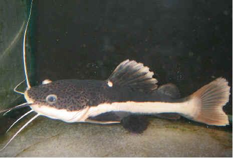 redtail catfish baby