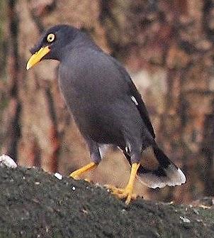 Jenis Jenis Burung Jalak Terpopuler Di Indonesia