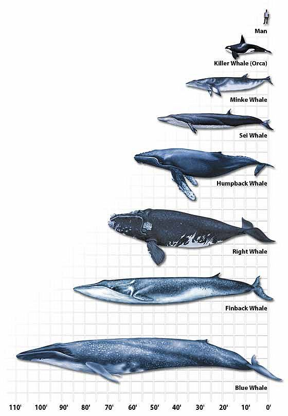 Aeysthetics whale types
