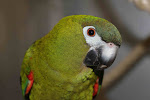 Red-shouldered macaws