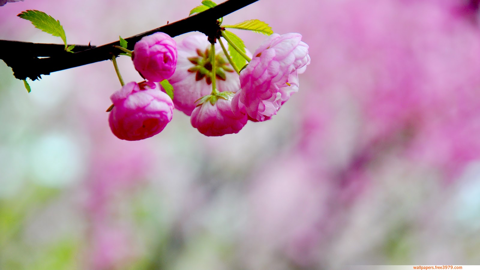 peach blossoms wallpaper - photo #25