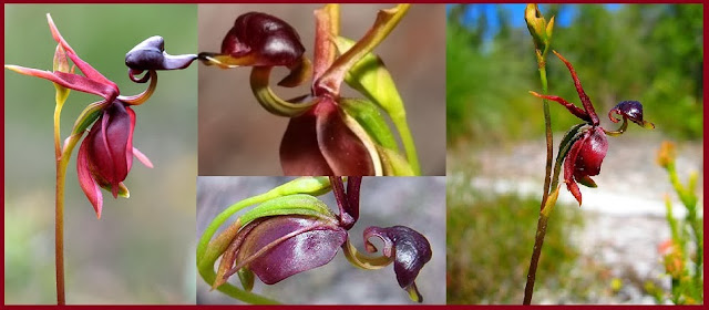 Photo and Figure of Caleana Major or Flying Duck Orchid