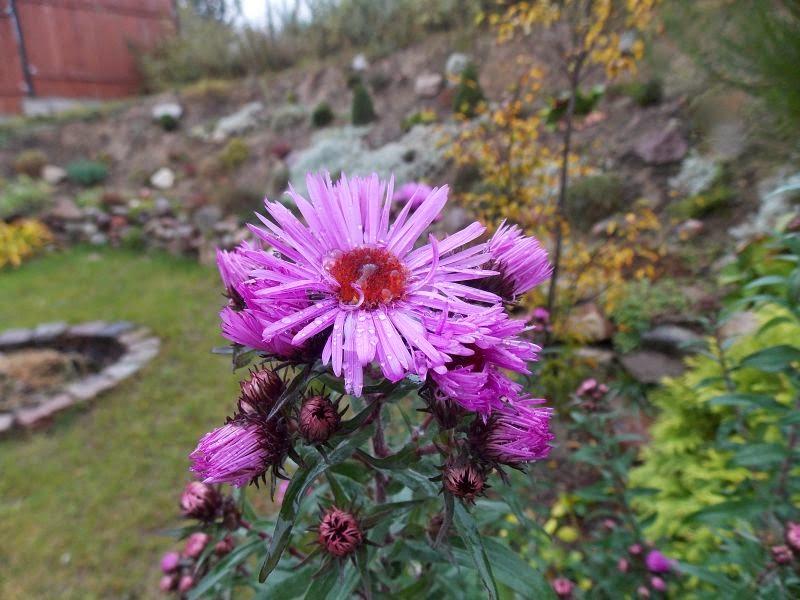 astry w ogrodzie