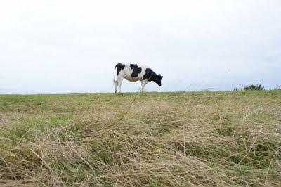 vache, Jersey, pré