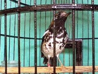 Foto Burung Kembang Waru Terbaik