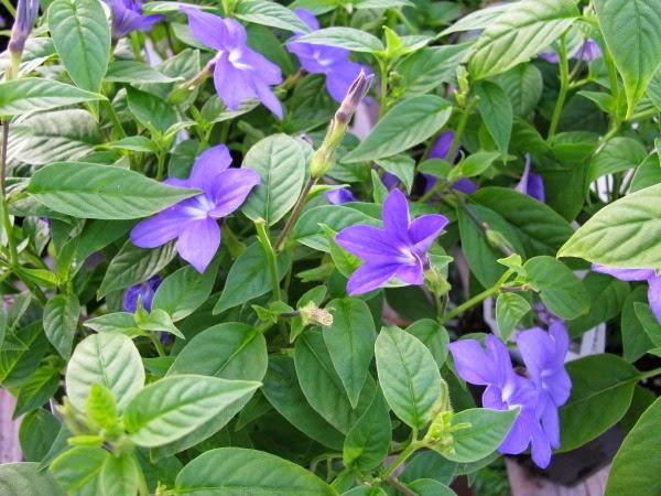 10 plantas para jardines en sombra guia de jardin - Plantas de exterior con flor ...