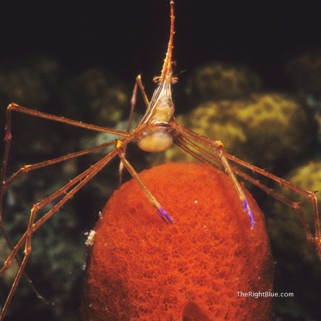 Yellowline Arrow Crab (Stenorhynchus seticornis), Caribbean