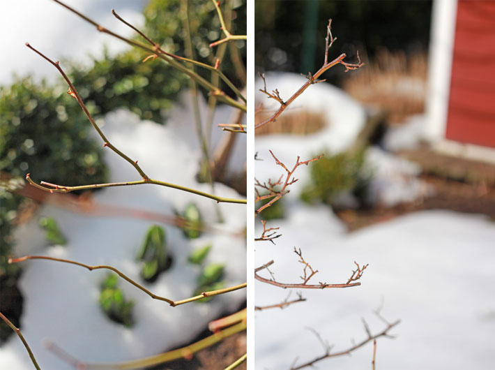 Amalie loves Denmark Rosenknospen und Schneetreiben