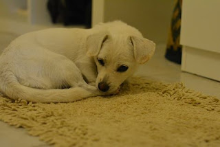 Η ολόλευκη πανέμορφη σκυλίτσα αναζητά μια καινούρια οικογένεια!