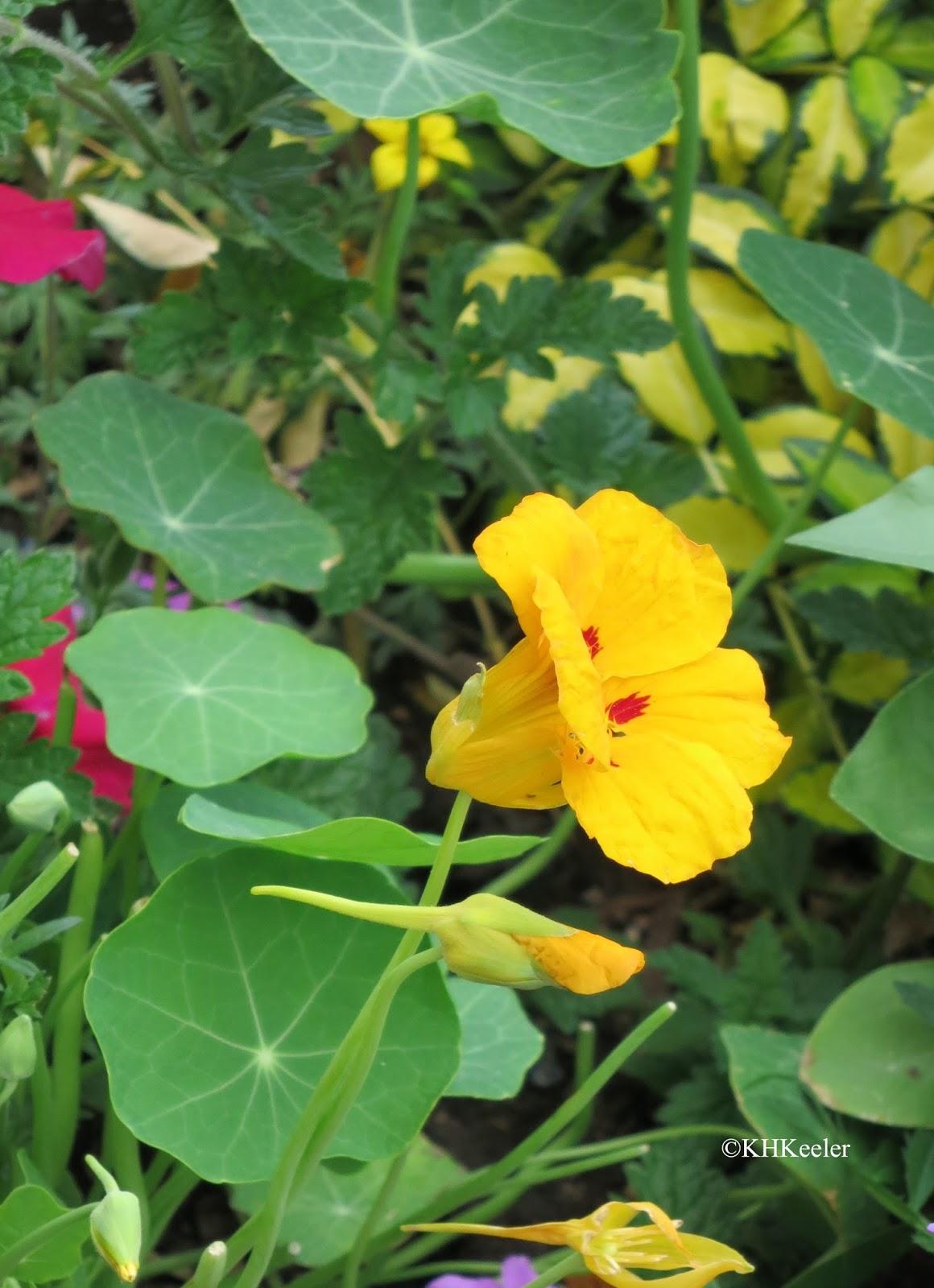 A Wandering Botanist Un Plants The Strange Case of Nasturtium and Wa