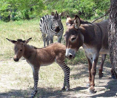 donkey, zebra and a zonkey