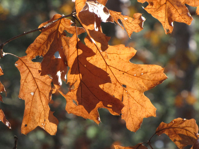 red oak leaves in sun