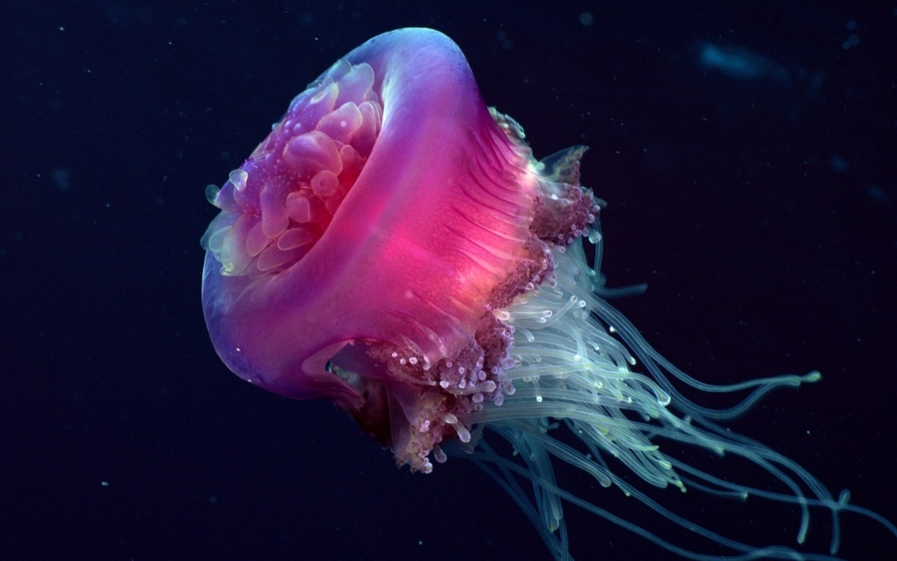 Jellyfish wallpapers animal literature for Jellyfish wallpaper home