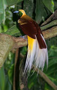 Cenderawasih kuning-kecil, Paradisaea minor