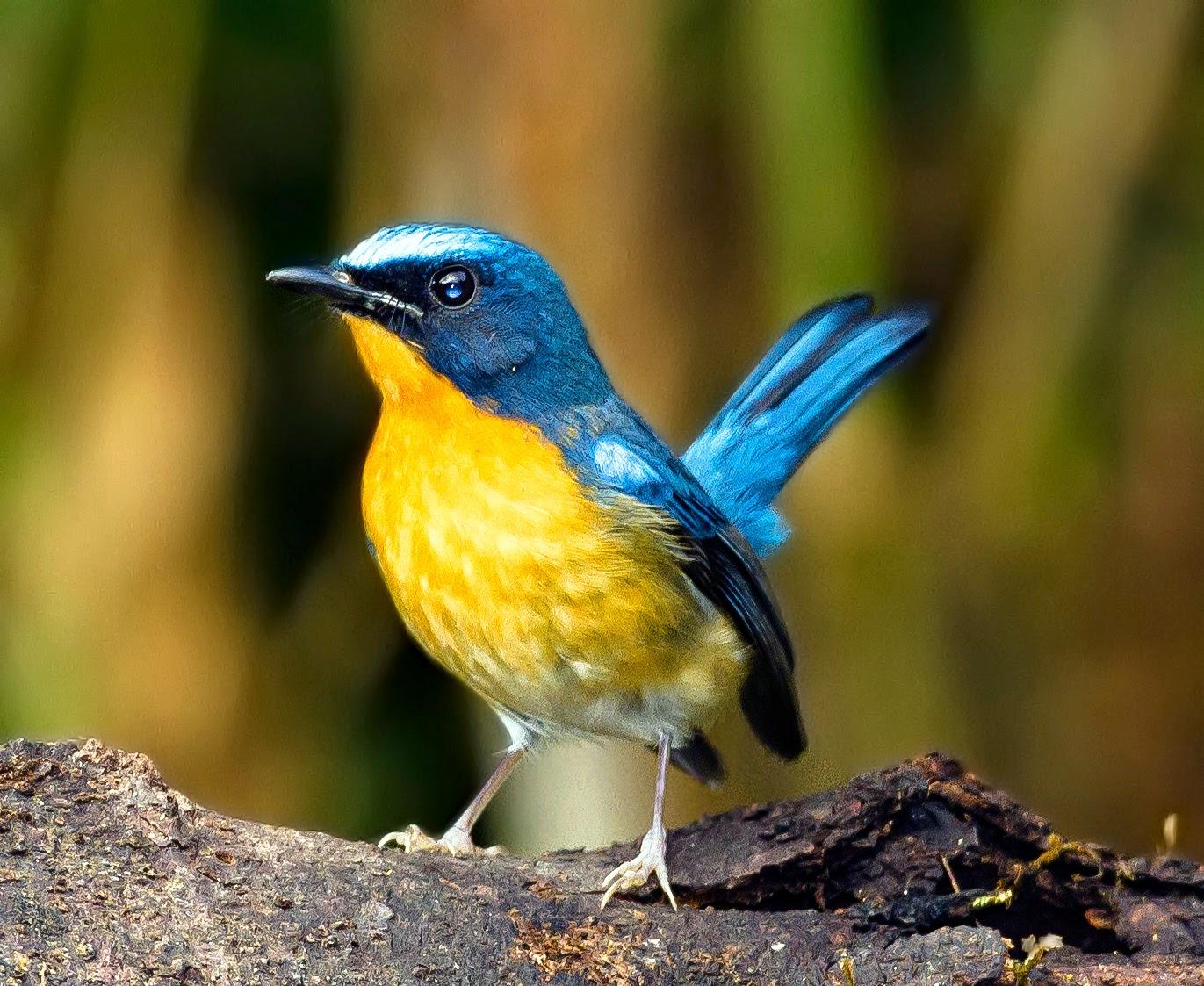 Foto Burung Tledekan Jantan Harga Terbaru